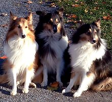 Shetland Sheepdogs by Johnny Furlotte