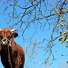 Chinese cow by bfokke