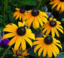 BLACK-EYED SUSANS by mlynnd