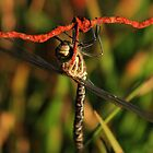Dragon Fly by highonsnow