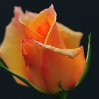 Orange Christmas Rose # 2 by Golden Richard