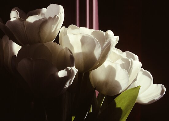 White Tulips by secondcherry