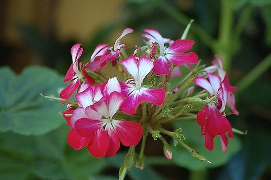 Pelargonium by loiteke