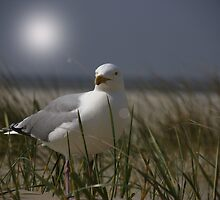Silver Gull by AnnieSnel