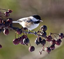 My little chickadee by lloydsjourney