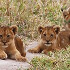 Lion Cubs, Central Kalahari Game Reserve, Botswana, Africa by Adrian Paul