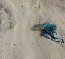 Portuguese Man O' War  by Amy Boddie
