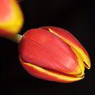 Spring Tulip by Jarede Schmetterer