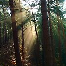 Rays in the Woods by hologram