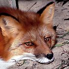 Red Fox by Johnny Furlotte