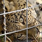 Big Cat Rescue by David Lee Thompson