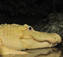White Alligator by Golden Richard