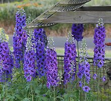 Delphinium in bloom by tazsnaps