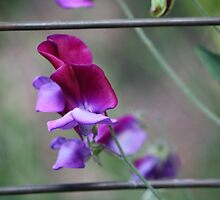 Sweet pea in bloom by tazsnaps