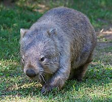 Common Wombat by Jenny Brice