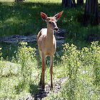 Young Whitetail deer by Johnny Furlotte