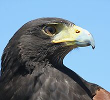 Harris Hawk by noffi