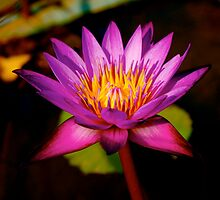 Water Lily - King's Palace Phnom Penh Cambodia by Louise Fahy