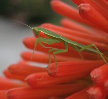 Baby mantis by Tracey McKenzie
