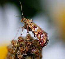 Moth by sarah ward