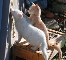 Kittens Playing with Tent Rope  by jojobob