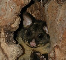 Brush-tail possum at home  by Peter  Tonelli
