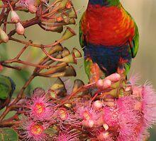 Rainbow Lorikeet by Peter South