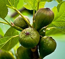 Fig tree- on the conditions 50 -80 kgs per year full grown up to 160kg by GOSIA GRZYBEK
