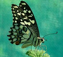 Butterfly at rest by Pauline Sykes