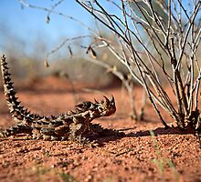 Thorny Devil, Uluru - Kata Tjuta National Park, NT by Matt  Lauder