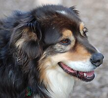 Australian Shepherd by peter riley
