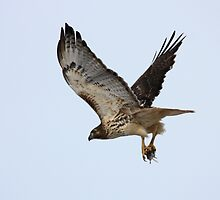 Red Tailed Hawk with a mouse. by lloydsjourney