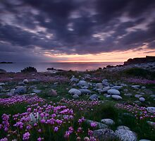 Guernsey Sea Pinks by PhotoToasty