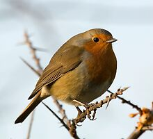 Eurasian robin by Ashley Beolens
