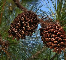 Pinecones by LudaNayvelt