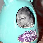 Chinchilla by Amy Scott