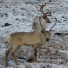 Reindeers in the Norweigian winter by C1oud
