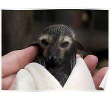 Baby Flying Fox - Bat Reach Centre - Kuranda - Queensland - Australia Poster