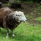 Sheep from Pet's Corner Jesmond Dene by VictoriaM