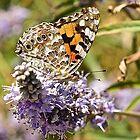 Butterfly by John (Mike)  Dobson