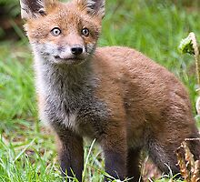 Fox Cub by wildlifephoto