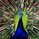 Peacock by Jeff Davies