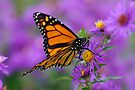 Monarch and Asters by Stephen Beattie