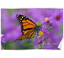 Monarch and Asters Poster