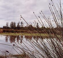 Reeds at the Water Catchment at the end of De L'Isle Drive, Watanobbi, Central Coast, NSW by John Howard Reid