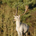 Fallow Deer Stag by unozig