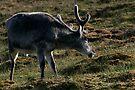 Reindeer Scratching by Steve Bulford
