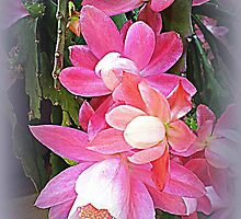 Weeping Cactus-Commonly called Christmas Cactus by EdsMum