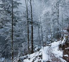 white forest by peterwey