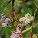 dew covered blueberries by Roslyn Lunetta